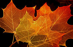 I play with leaves, Attribution: http://www.flickr.com/photos/jurvetson/