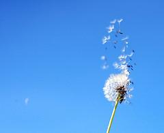 The magic of a dandelion, Attribution: http://www.flickr.com/photos/nerdegutt/