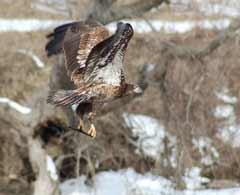 Immature Eagle, Attribution: http://www.flickr.com/photos/dobak/116195588/sizes/m/in/photostream/