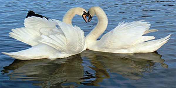 Swan Heart, Attribution: http://www.flickr.com/photos/mozzercork/109582266/sizes/s/in/photostream/