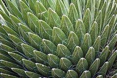 Agave nectar, http://www.flickr.com/photos/kretyen/2511876359/sizes/s/in/photostream/