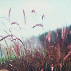 Serenity Grass